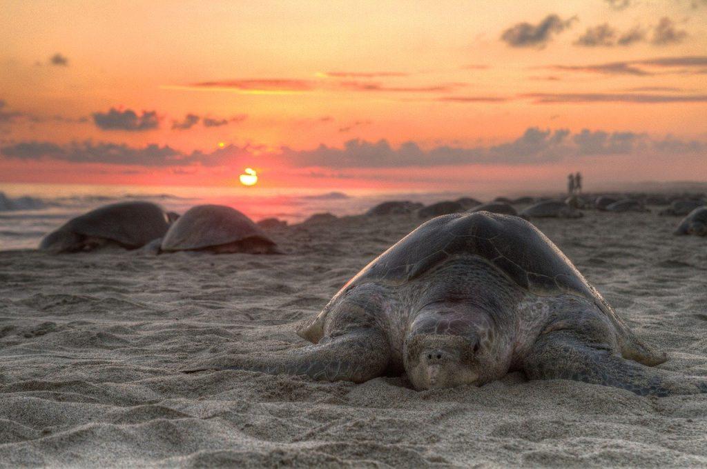 adult turtles on the beach