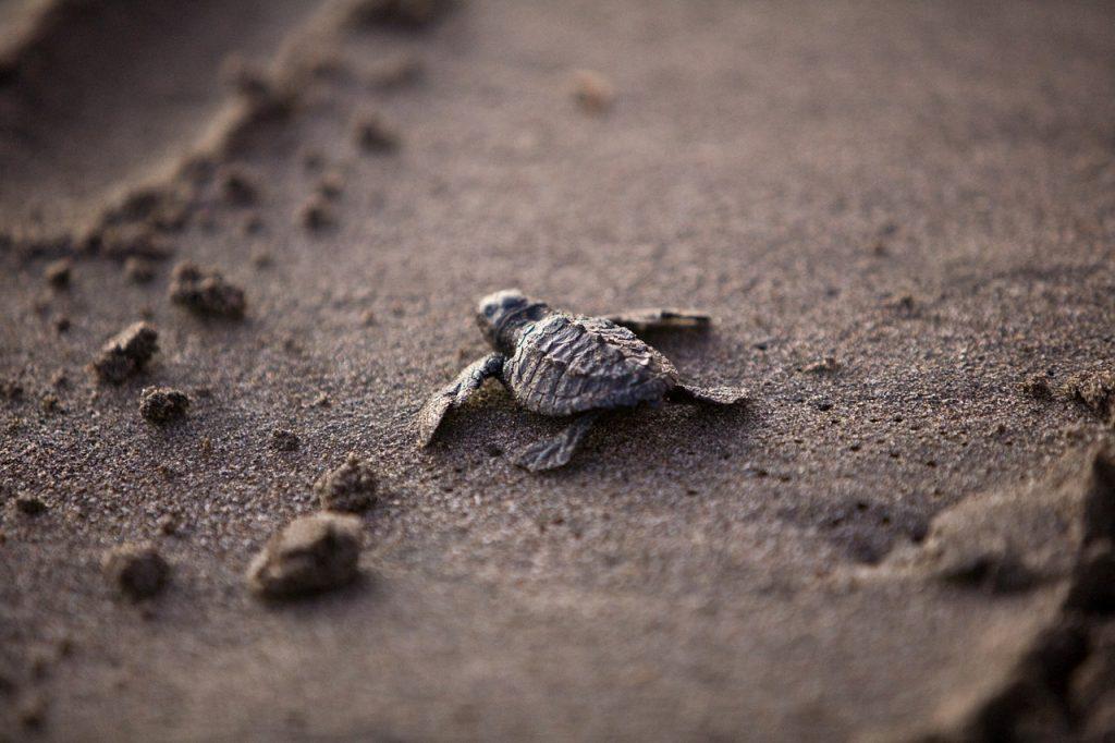 little turtle on the beach
